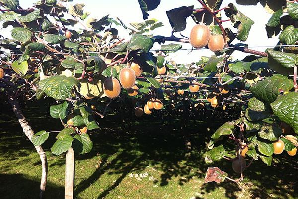 Kirimini kiwifruit