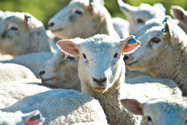 Toward one laptop for every lamb