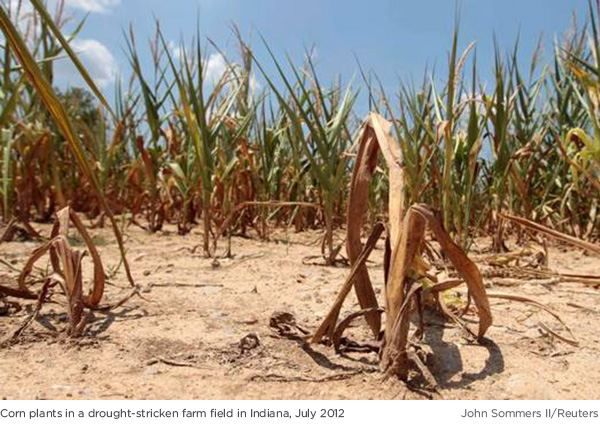 Drought-stricken corn field Indiana