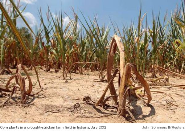 Drought-stricken corn field Indiana