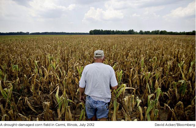 A drought-damaged field, Illinois U.S.