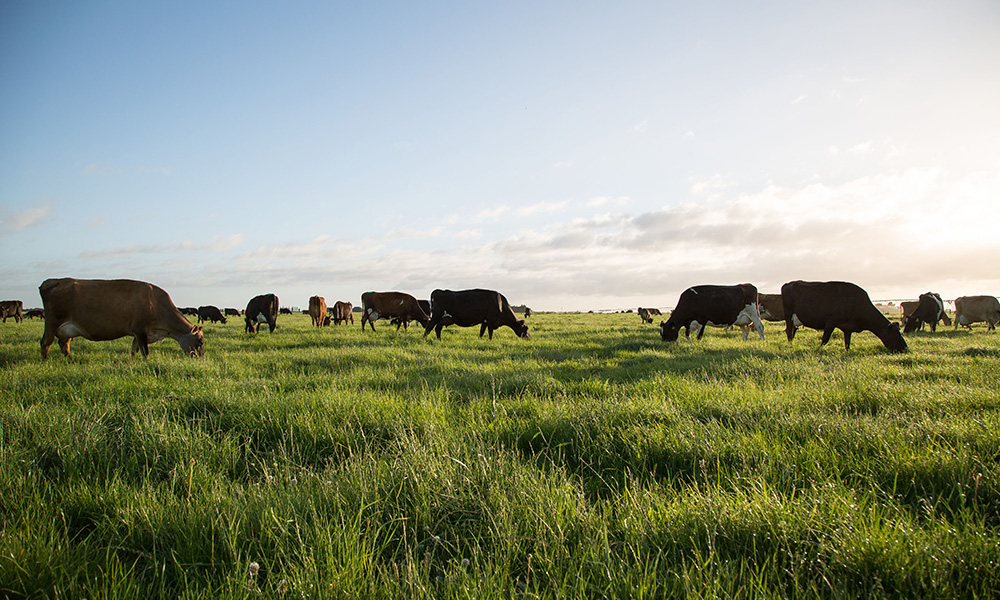 Craigmore dairy cows grazing at Wairepo