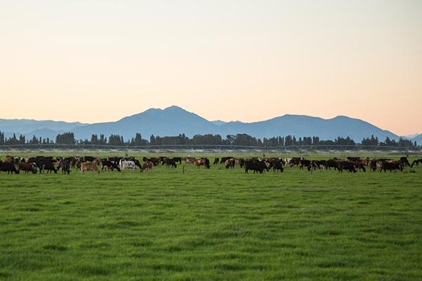Craigmore dairy herd grazing