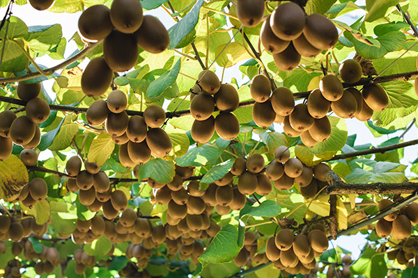 Craigmore kiwifruit