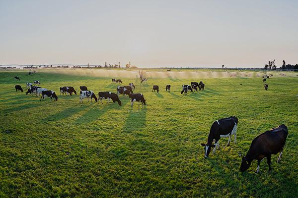 Craigmore dairy cows