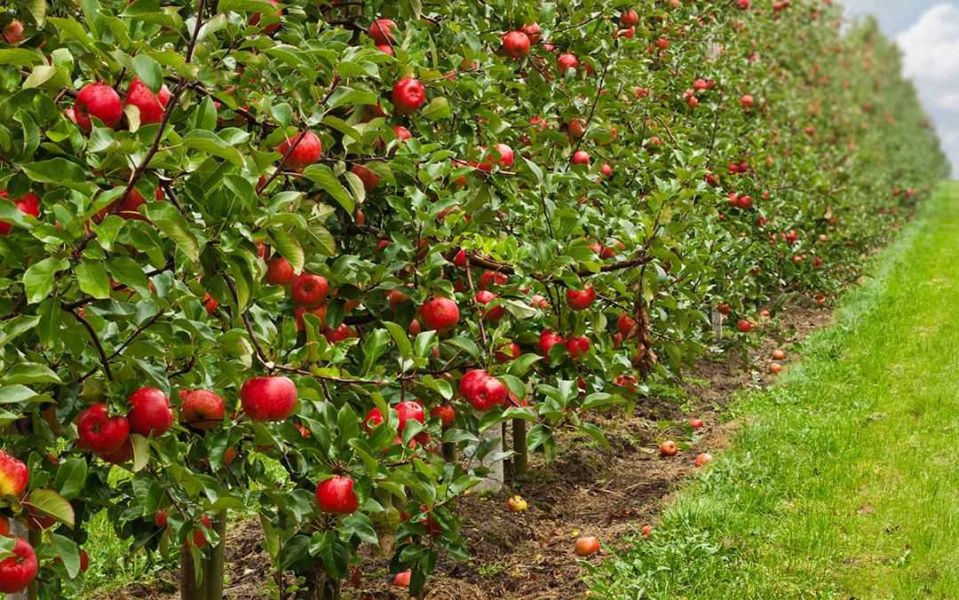 Craigmore row of apple trees